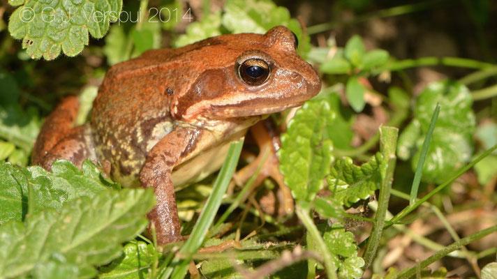 Grass Frog - Rana temporaria parvipalmata, In Situ