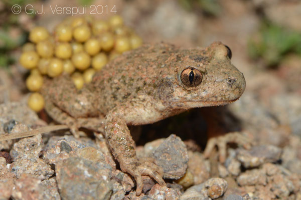 Common Midwife Toad - Alytes obstetricans almogavari