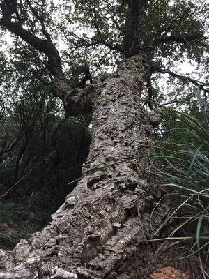 Cork Oak - Quercus suber