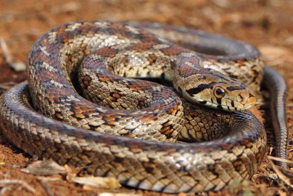 Big adult Leopard Snake - Zamenis situla
