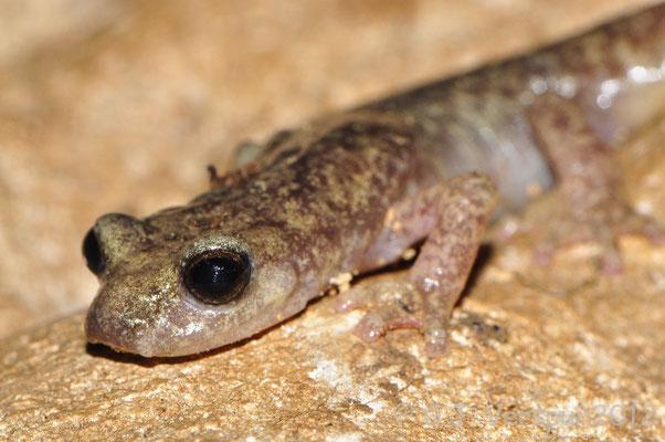Monte Albo Cave Salamander - Speleomantes flavus    In Situ