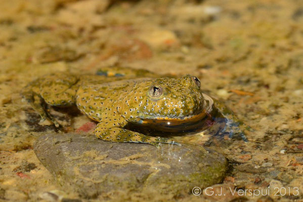 Yellow-bellied Toad - Bombina variegata