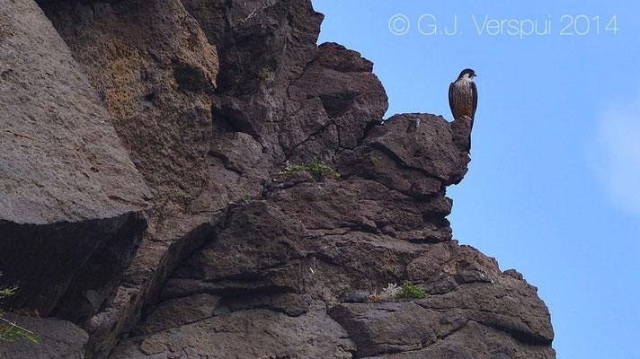 Eleonora's Falcons - Falco eleonorae