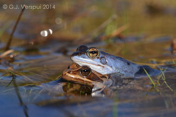 Moor Frogs in amplexus - Rana arvalis   In Situ