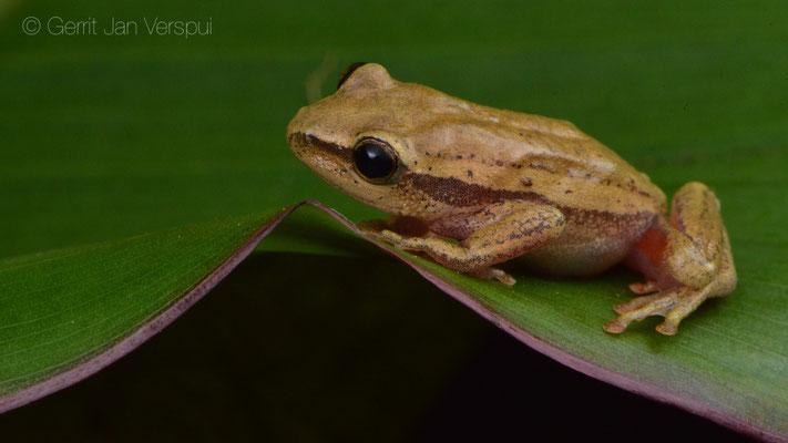 Kivu Reed Frog - Hyperolius kivuensis