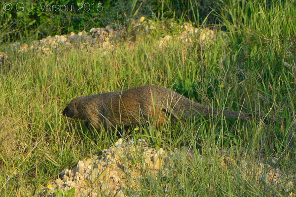 Mongoose, (Herpestes ichneumon)