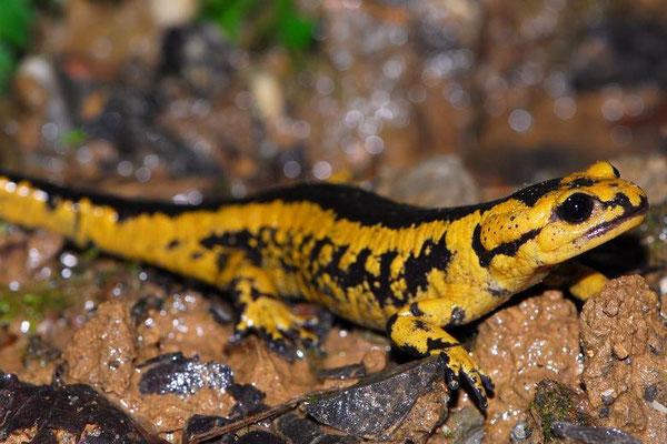 Salamandra salamandra bernardezi, Asturias, Spain, April 2012