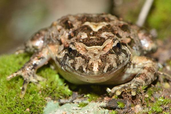 Tyrrhenian Painted Frog - Discoglossus sardus