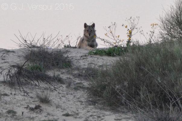 Jackal, (Canis aureus)