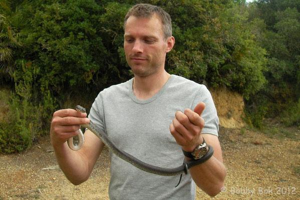 Horseshoe Whip Snake - Hemorrhois hippocrepis
