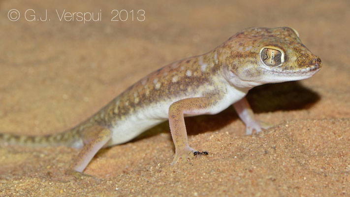 Anderson's Short-Fingered Gecko - Stenodactylus petrii    In Situ