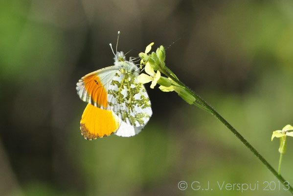 The Orange Tip - Anthocharis cardamines