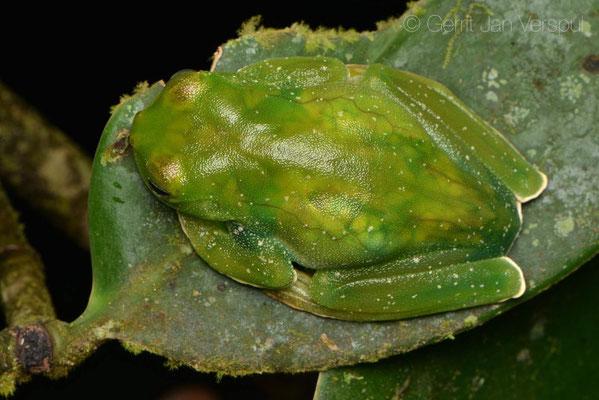 Hyloscirtus palmeri