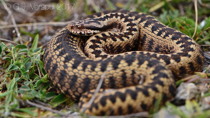 Female Vipera seoanei