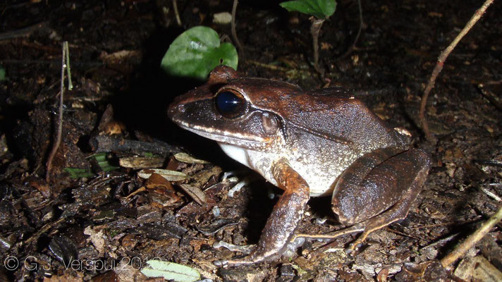 eleutherodactylus laticeps