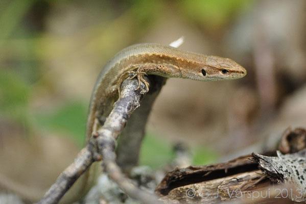 Meadow Lizard - Darevskia praticola