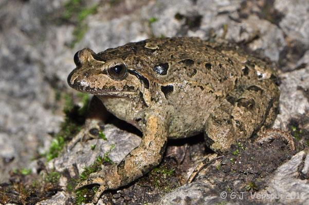Iberian Painted Frog - Discoglossus galganoi jeanneae