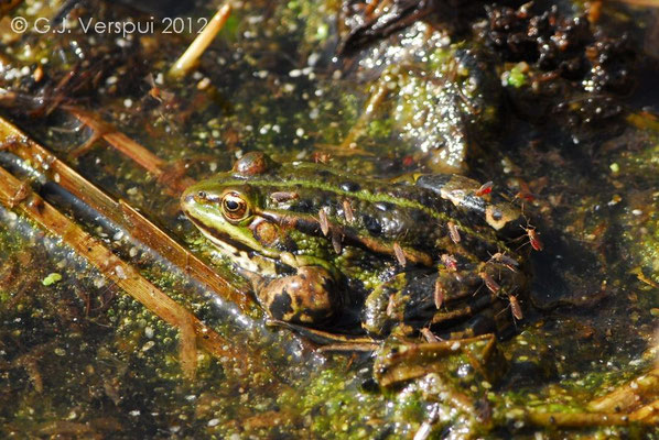 Edible Frog giving some blood away - Pelophylax kl. esculentus
