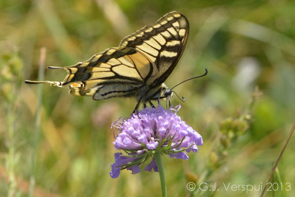 Old World Swallowtail - Papilio machaon  (NL: Koninginnepage)