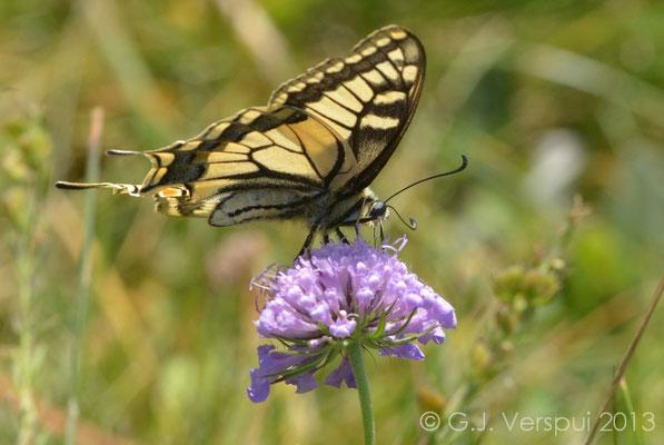 Old World Swallowtail - Papilio machaon  (NL: Koninginnepage)