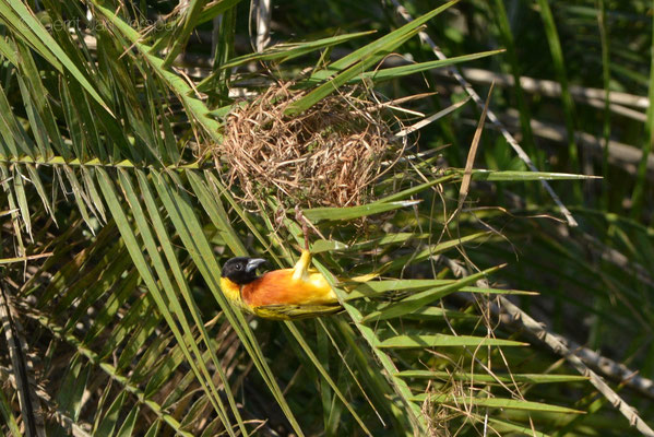 Black-headed Weaver - Ploceus melanocephalus