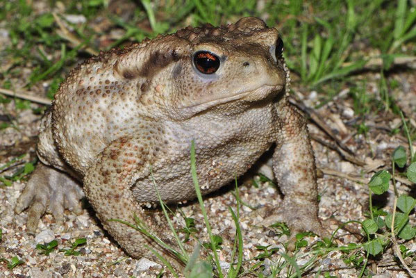 Common Toad - Bufo bufo  In Situ