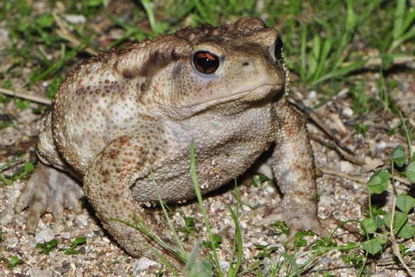 Common Toad - Bufo bufo  In Situ