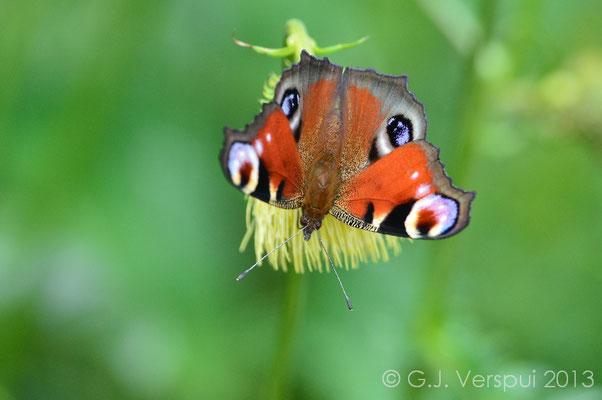 European Peacock - Inachis io  (NL: Dagpauwoog)