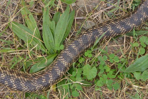 Blotched Snake - Elaphe sauromates (DOR)