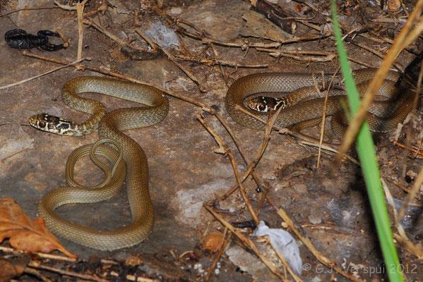 2 Western Whip Snakes - Hierophis viridiflavus    In Situ