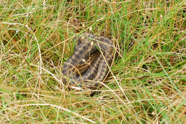 Smooth Snake - Coronella austriaca, In Situ