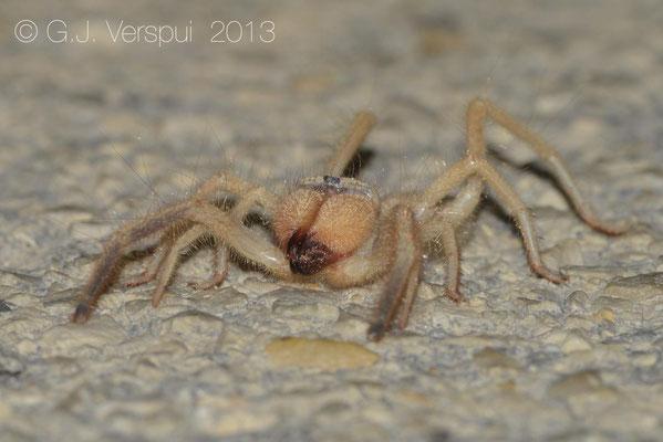 Camel Spider - Solifugae