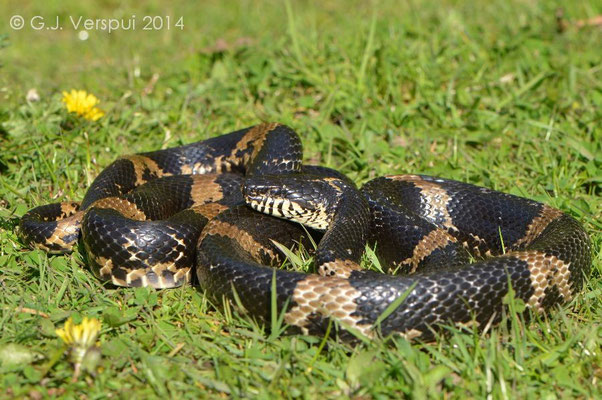 2nd Russian Rat Snake - Elaphe schrenckii