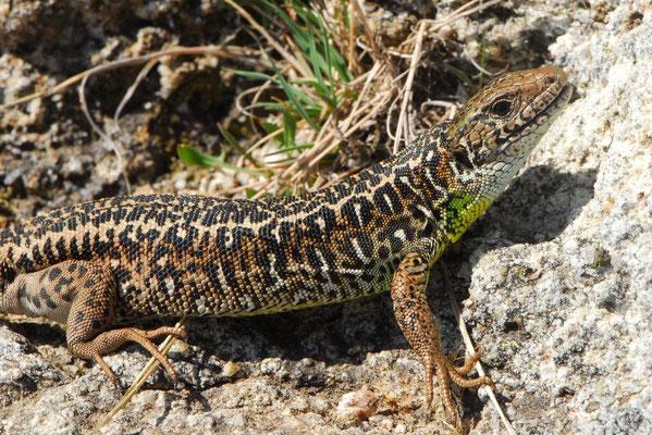 Schreiber's Green Lizard - Lacerta schreiberi  (female)
