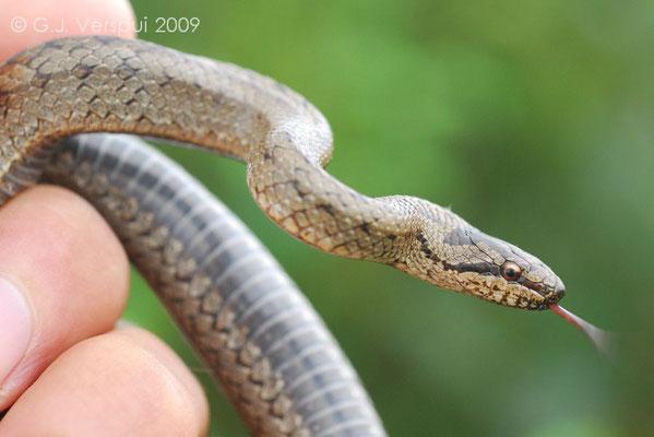 Smooth Snake - Coronella austriaca