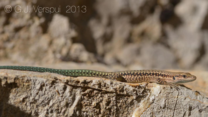 Hermon Lizard - Phoenicolacerta kulzeri    In Situ