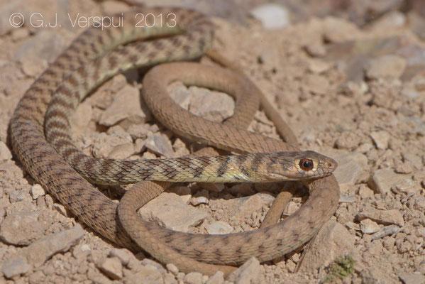 Braid Snake - Platyceps rhodorachis