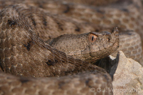 Nose-horned Viper - Vipera ammodytes  (female)