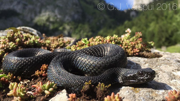 Vipera aspis 'atra', Swiss Alpes, August 2016