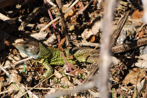Schreiber's Green Lizard - Lacerta schreiberi    In Situ