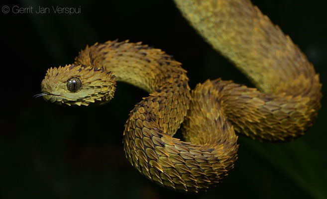 Rough-scaled Bush Viper - Atheris hispida, the one I found