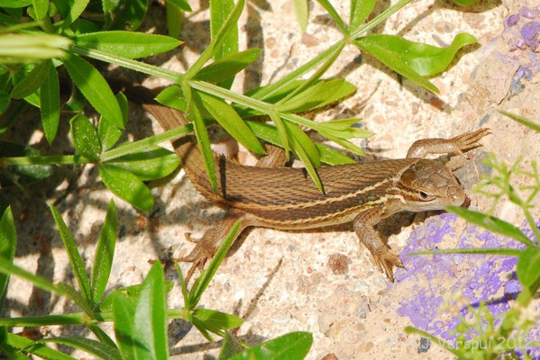 Algerian Psammodromus - Psammodromus algirus    In Situ