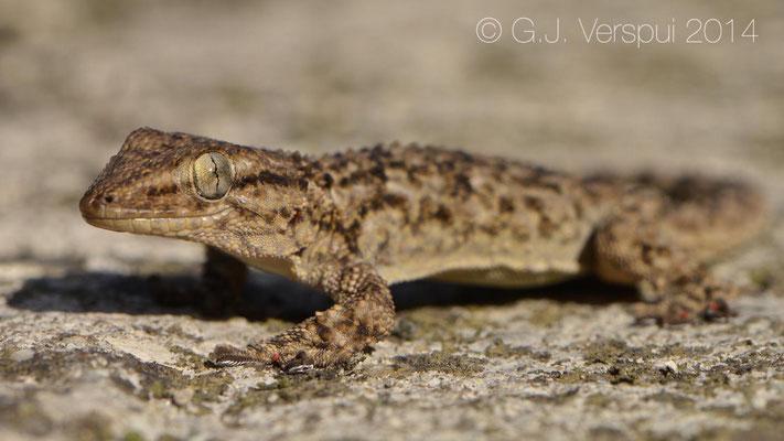 Moorish Gecko - Tarentola mauritanica