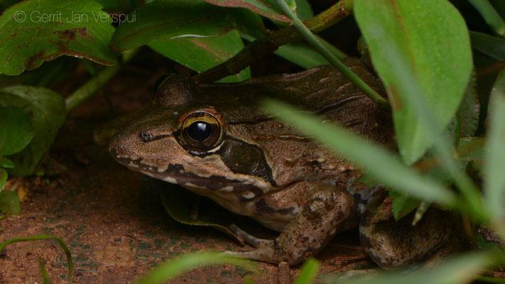 Nutt's River Frog - Amietia nutti