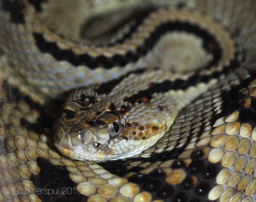 Crotalus durissus, (captive)