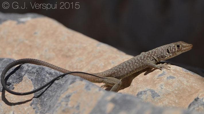 Omanosaura jayakari, In Situ