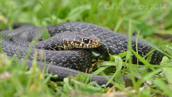 Western Whip Snake - Hierophis viridiflavus carbonarius
