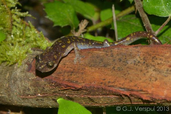 Scented Cave Salamander - Speleomantes imperialis   In Situ
