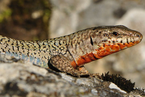 Erhard's Wall Lizard - Podarcis erhardii livadiacus
