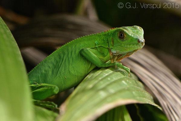 Iguana iguana, In Situ